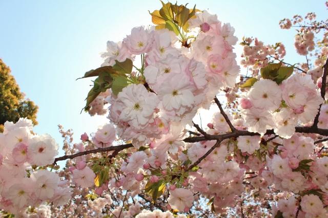 4 Sakura