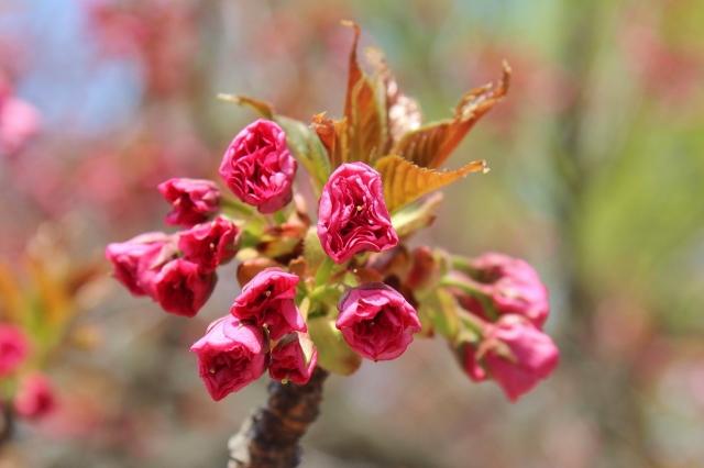 6 Sakura