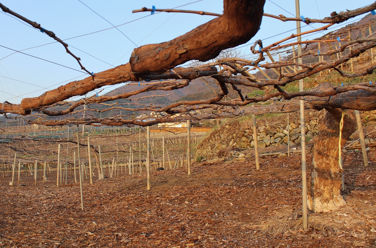 Wein aus Japan: unterwegs mit Ayana Misawa | Chez Matze