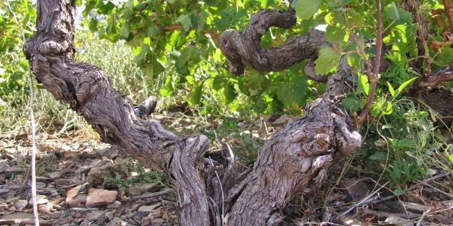 Alter Rebstock bei Collioure
