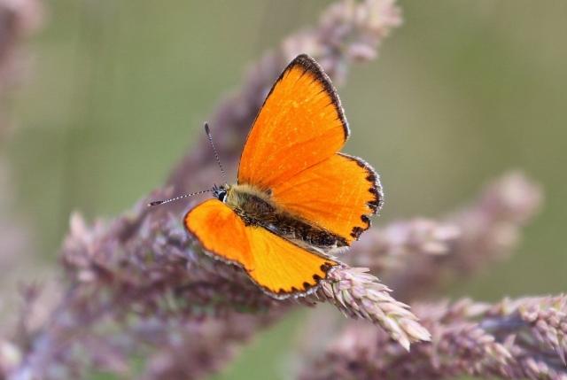 Dukatenfalter (Lycaena virgaureae, male)