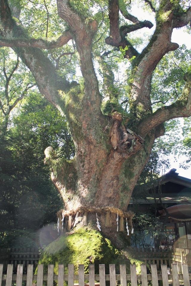 20-atsuta-kampherbaum